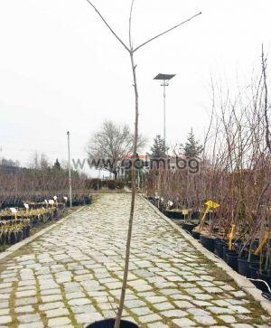 Sorbus aucuparia, Офика от разсадник Палм Център на Ботаническа градина - Пловдив