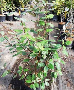 Elaeagnus x ebbingei Compacta, Компактна Миризлива Върба