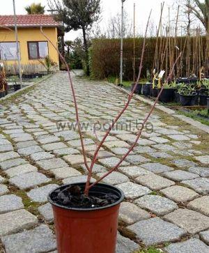 Cornus alba Elegantissima, Декоративен Дрян с пъстри листа