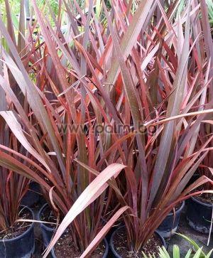Phormium tenax 'Purpureum', New Zealand Flax