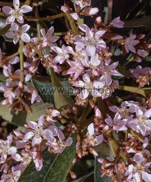 "Eriobotrya x 'Coppertone',  Вечнозелена хибридна мушмула ""Копертоне"""