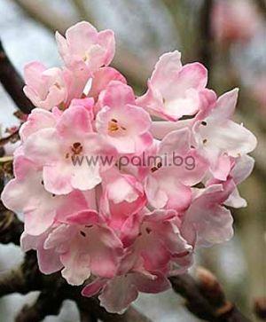 Viburnum x bodnantense 'Charles Lamont', Зимноцъфтяща ароматна Калина, сорт 'Charles Lamont'
