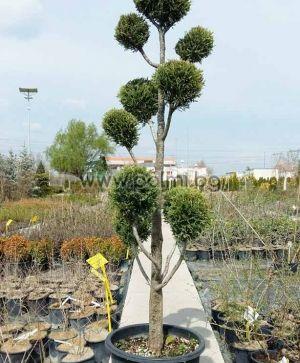 Cupressus × leylandii, Кипарис Лейланди, форма Пон-пон