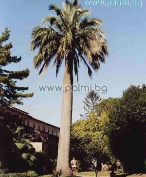 Jubaea chilensis, Chilean wine palm from Botanical garden - Plovdiv, Bulgaria