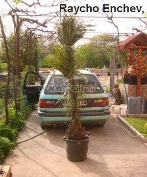 Jubaea chilensis, Чилийска винена палма, Юбея от разсадник Палм Център на Ботаническа градина - Пловдив
