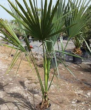 Sabal minor, Dwarf Palmetto