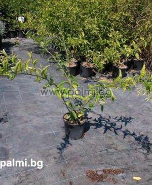 Cestrum aurantiacum, Оранжево нощно цвете, Нощен жасмин, Кралица на нощта от разсадник Палм Център на Ботаническа градина - Пловдив