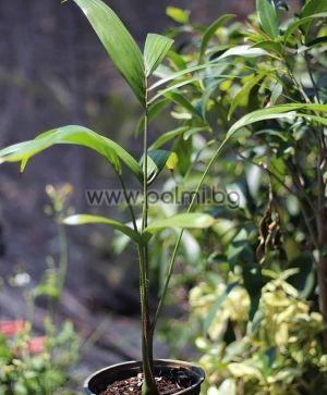 Oncosperma tigillarium, Палма Нибунг (Nibung), Онкосперма