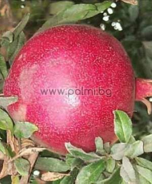 Pomegranate var. Wonderful