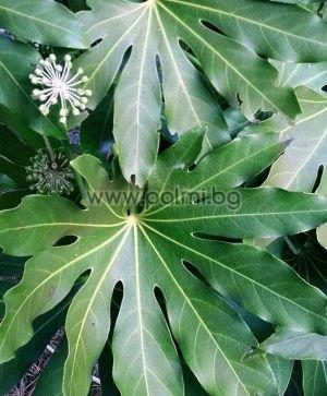 Fatsia japonica 'Moseri', Японска Аралия, Фатсия, студоустойчива форма 'Moseri'