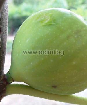 Ficus carica Settimo, Смокиня Сетимо (Settimo)