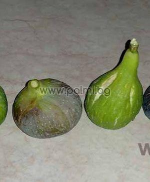 Ficus carica Croatian Yellow Giant Fig, Смокиня Гигантска Жълта от Хърватска от разсадника Палм Център - Пловдив