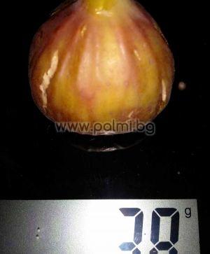Ficus carica Michurinska-10, Смокиня Мичуринска-10 от разсадника Палм Център - Пловдив