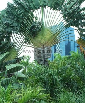 Ravenala madagascariensis, Traveller's tree, Traveller's palm