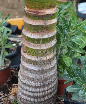 Австралийска палма Архонтофеникс