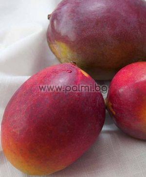 Mangifera indica cv. Sensation, Mango variety Sensation  from Botanical garden - Plovdiv, Bulgaria