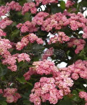 Rosa banksiae 'Rosea', Pink Lady Banks Rose