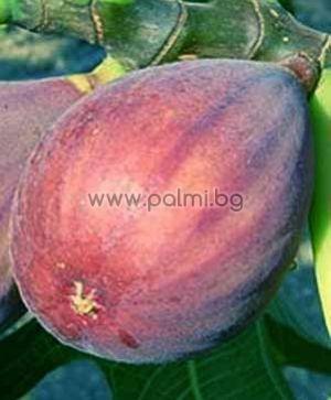 Ficus carica Rosce Signora, Смокиня Роше Синьора
