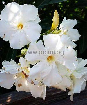 Nerium oleander 'Album Plenum', Олеандър, сорт 'Албум Пленум', ароматен, с бели кичести цветове