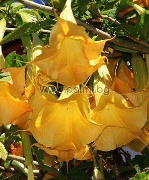 Brugmansia arborea, Datura arborea, Brugmansia arborea, Datura arborea, Yellow