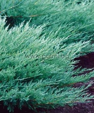 Creeping juniper, Creeping cedar