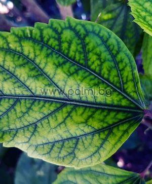 Chlorosis 200g fertilizer, Специален тор за лечение на хлороза