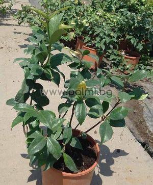 Rhynchospermum jasminoides (Trachelospermum), Звездовиден жасмин, Ринкоспермум, Трахелоспермум