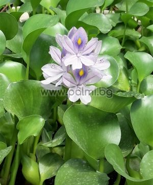 Воден зюмбюл, Eichhornia crassipes