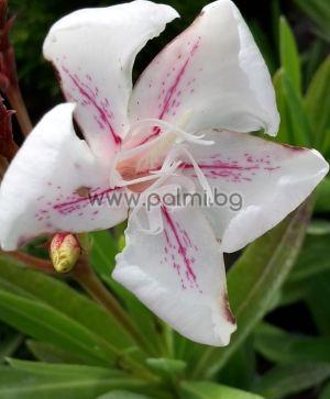 Oleander, Hariet Nuding