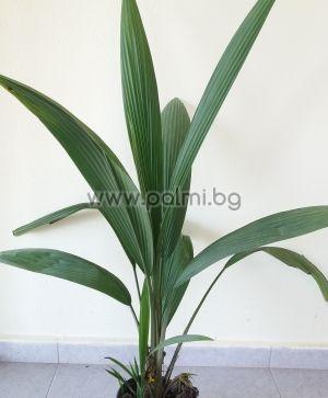 Molineria capitulata, Палмова трева