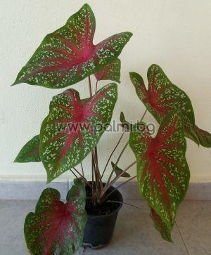 caladium bicolor,каладиум
