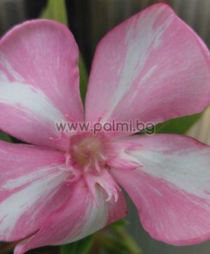 Oleander,Simie