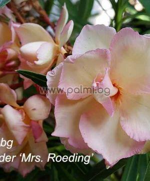 Oleander Mrs. Roeding