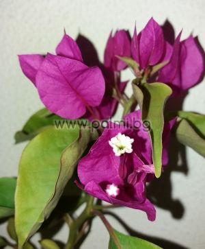 Bougainvillea 'Sensation'