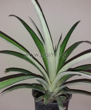 Pineapple  Ananas comosus
