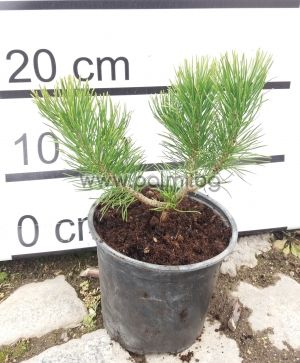 Pinus mugo  Клек