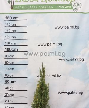 Juniperus chinensis Stricta Variegata weißbunter Kegel-Wacholder