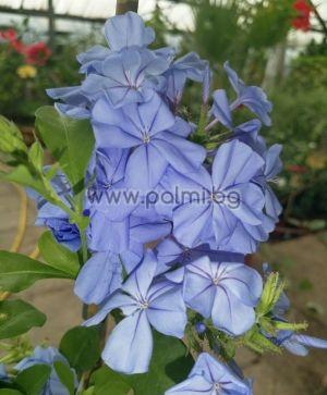 Plumbago capensis Blue