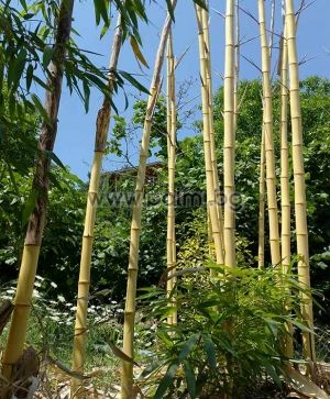 Phyllostachys vivax 'Aureocaulis', Студоустойчив гигантски жълт бамбук Вивакс