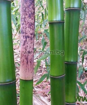 Phyllostachys bambusoides, Студоустойчив гигантски зелен бамбук
