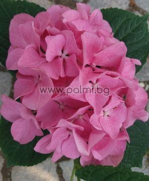 Едроцветна розова Хортензия, Hydrangea macrophylla 'Red Baron
