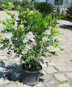 Murraya paniculata, Мурая, Портокалов Жасмин