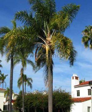 Syagrus, Queen palm