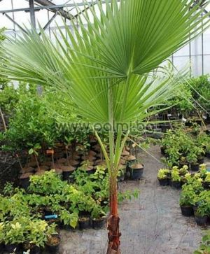 Mexican Fan Palm, Washington palm