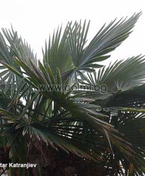 """Trachycarpus 'Bulgaria', Легендарните палми Трахикарпус """"България"""", Полярни палми"""