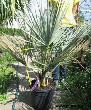 Mexican Blue Palm in 10 liter pot