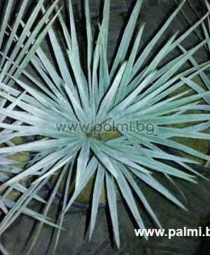 Брахея, Мексиканска Синя Палма в 3 литрова саксия