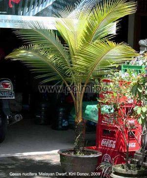 "Cocos nucifera ""Malayan Dwarf Gold"", Оранжева Кокосова палма"