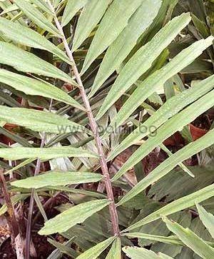 Dwarf Sugar palm, Formosa palm