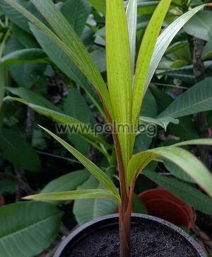 Hyophorbe lagenicaulis, Бутилкова палма